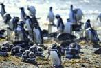 Thumbnail Magellanic Penguins at the shore  Spheniscus magellanicus Patagonia - Punta Arenas - Chile