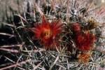Thumbnail USA Arizona blooming cactus Ferocactus gatesii