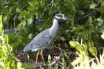 Thumbnail Yellow-crowned Night Heron Nycticorax violaceus
