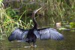 Thumbnail Anhinga, Snakebird, American Darter or Water Turkey Anhinga anhinga