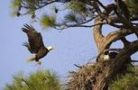 Thumbnail Bald Eagle Haliaeetus leucocephalus