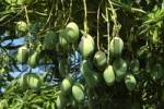 Thumbnail Mango fruits on the tree Brazil
