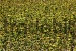 Thumbnail sunflower field, Crete, Tuscany, Italy