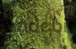 Thumbnail temperate rainforest, Otway National Park, Great Ocean Road