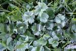 Thumbnail meadow with glaced frost