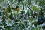 Thumbnail ladys mantle alchemilla in meadow with glaced frost