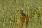 Thumbnail European Roe Deer Capreolus capreolus