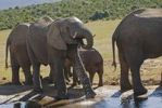 Thumbnail In the Addo National Park live more as three hundred Elephants-African Elephants(Loxodonta africana) on a water hole South Africa, Africa