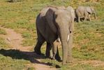 Thumbnail In the Addo National Park live more as three hundred Elephants-African Elephant (Loxodonta africana)in the Addo National Park South Africa, Africa