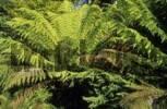Thumbnail temperate rainforest, Otway National Park, Great Ocean Road, Victoria, Australia
