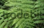 Thumbnail temperate rainforest, Otway National Park, Great Ocean Road, Victoria, AUS