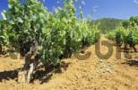 Thumbnail vineyard on Ibiza