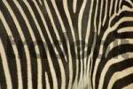 Thumbnail coat of zebra, grevyzebra, detail