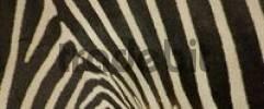 Thumbnail coat of zebra, grevyzebra, detail