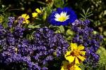 Thumbnail Blumenbeet Tagetes Studentenblume dreifarbige Winde convolvulus tricolor Vanilleblume Heliotropium arborescens