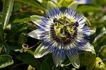 Thumbnail passion flower Passiflora caerulea close up