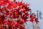 Thumbnail Gorgeous red autumnal leaves of japanese maple, acer palmatum atropurpureum, aceraceae