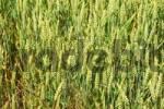 Thumbnail wheat Triticum aestivum