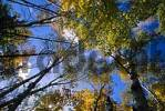 Thumbnail Birches and blue Sky, Indian Summer, Fall Colurs, Algonquin Provincial Park, Ontario, Kanada