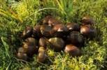 Thumbnail edible chestnuts in grass, Val Bregaglia, Bergell, Switzerland