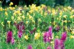 Thumbnail Colourful flower meadow in spring with blooming Primroses Primula spec. and orchids Dactylorhiza spec.