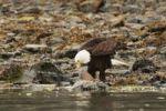 Thumbnail Bald Eagle, Haliaeetus leucocephalus, feeds on fish, Prince William Sound, Chugach National Forest, Pacific Coast, Alaska, USA