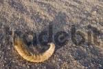 Thumbnail horn of a sheep ram in the desert sand, Jebel Uweinat, Jabal al Awaynat, Libya