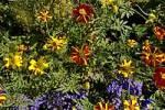 Thumbnail marigold Tagetes