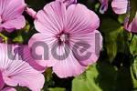 Thumbnail mallow silver cup Lavatera trimestris