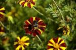 Thumbnail marigold Tagetes Blue Spanish Bindweed convolvulus tricolor