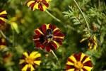 Thumbnail marigold Tagetes Blue Spanish Bindweed convolvulus tricolor