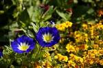 Thumbnail marigold Tagetes and Blue Spanish Bindweed convolvulus tricolor