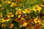 Thumbnail bee sitting on marigold Tagetes