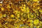 Thumbnail Golden leaves of beech tree, fagus sylvatica L, fagaceae