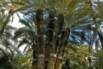 Thumbnail Emperor palm, palmera imperially in the priest garden, huerto del cura, Elx, Elche , Costa Blanca, Spain