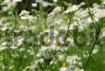 Thumbnail Oxeye daisies, leucanthemum vulgare