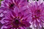 Thumbnail Purple Dahlia (Dahlia) flowers