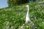 Thumbnail Easter decoration with a goose on a flower meadow