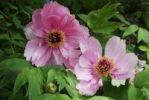 Thumbnail Pink red Peonies (Paeonia)
