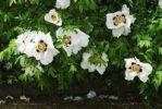 Thumbnail White Peonies (Paeonia)