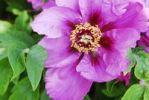 Thumbnail Purple Peony (Paeonia)