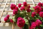 Thumbnail Red Rambler Roses (Rosa) on a grid at a house wall