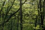 Thumbnail a forest of beech trees Fagus sylvatica in spring