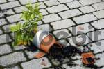 Thumbnail Thrown down from a hefty windstorm a little orange tree in the pot lies broken on the paving stones of the floor