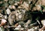 Thumbnail Toad migration, Common Toad Bufo bufo, European Toad Portrait