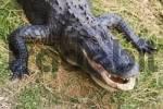 Thumbnail Head of an alligator