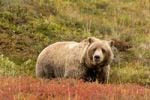 Thumbnail Grizzly bear, Ursus arctos horribilis, male, Denali National Park, Alaska, USA