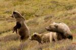 Thumbnail Grizzly bears, Ursus arctos horribilis, female and adolescent bears, Denali National Park, Alaska, USA