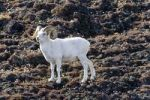 Thumbnail Dall Sheep Ram, Ovis dalli, Sheep Mountain, St. Elias Range, Kluane National Park, Yukon Territory, Canada