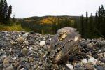 Thumbnail dried Fish head, salmon, Big Salmon River, Yukon Territory, Canada